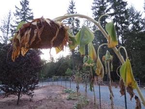 dry sunflower